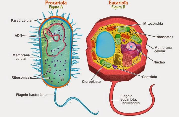 Características De La Célula Eucariota Y Sus Funciones