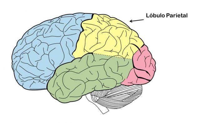 Funciones Del Lóbulo Parietal