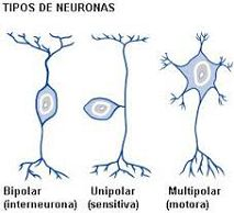 Clases De Neuronas Concepto De Neurona